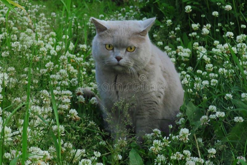 Caza británica del gato del shorthair en la hierba en el jardín fotografía de archivo