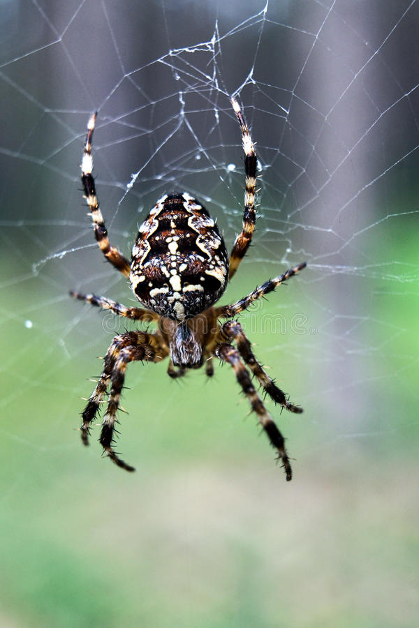 Caza cruzada de la araña del jardín en un spiderweb fotografía de archivo libre de regalías