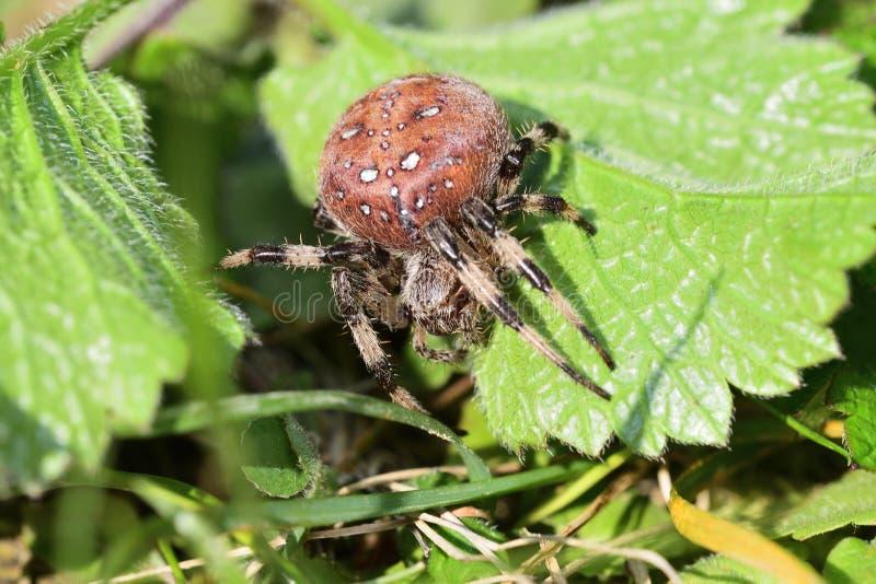 caza de la araña en la hierba fotografía de archivo libre de regalías