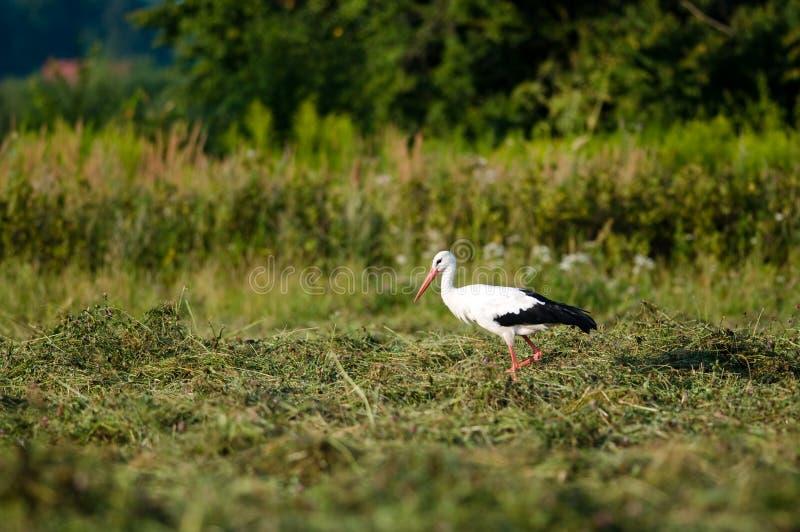 Caza de la cigüeña en el prado foto de archivo