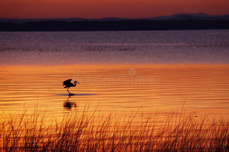 Caza de la garza de Champlain del lago en el amanecer imagen de archivo libre de regalías