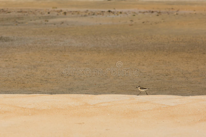 Caza de la lavandera para la comida en una playa de oro de la arena fotografía de archivo