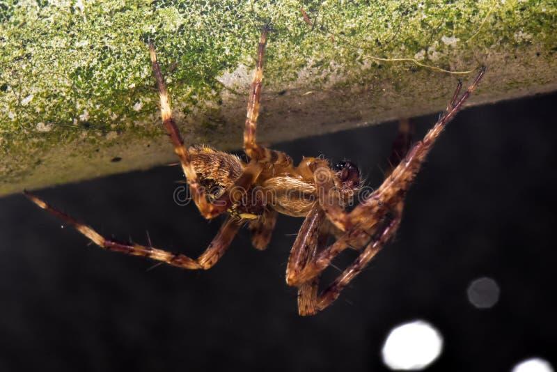 Caza de la noche de Wolf Spider del jardín imágenes de archivo libres de regalías
