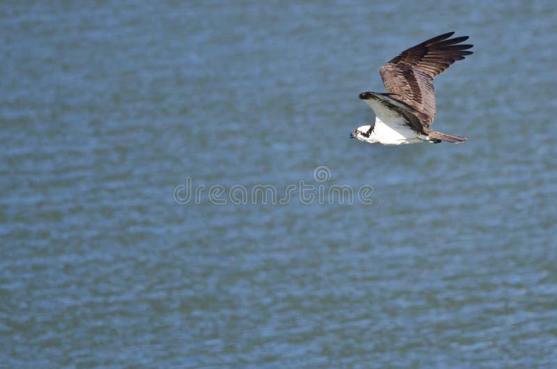 Caza de Osprey como vuela bajo sobre el agua fotografía de archivo