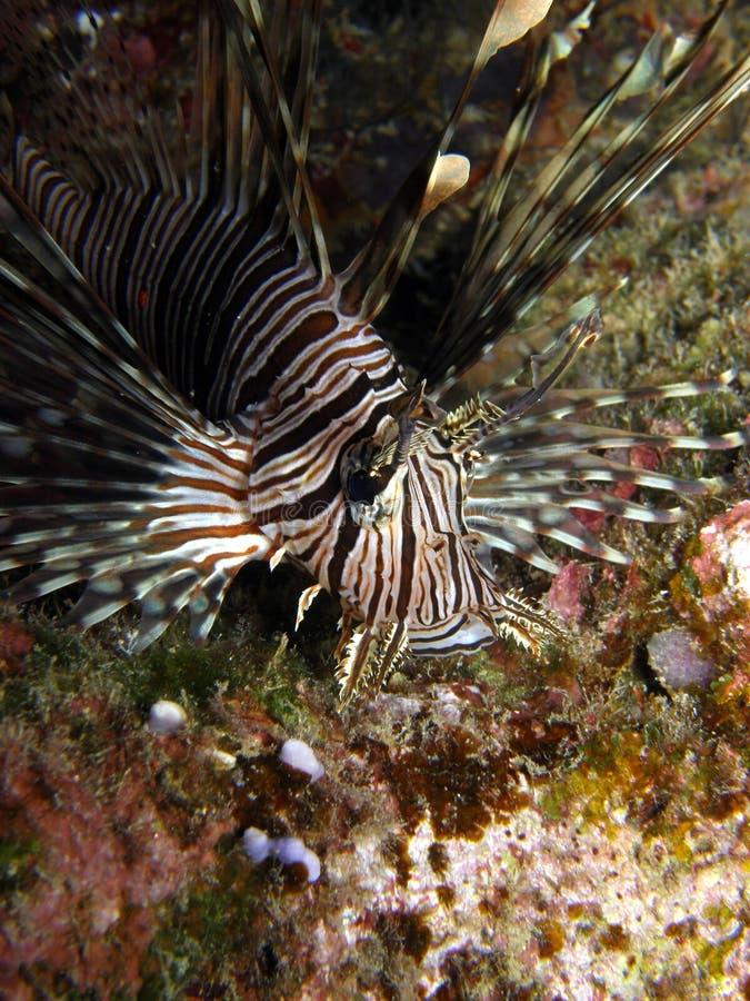 Caza de Volitans del Lionfish fotos de archivo libres de regalías