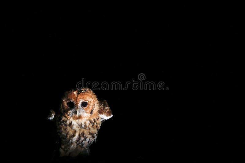 Caza del búho de Tawney en el retrato de la noche imagenes de archivo
