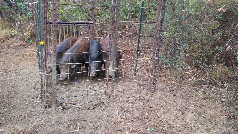 Caza del cerdo imagen de archivo