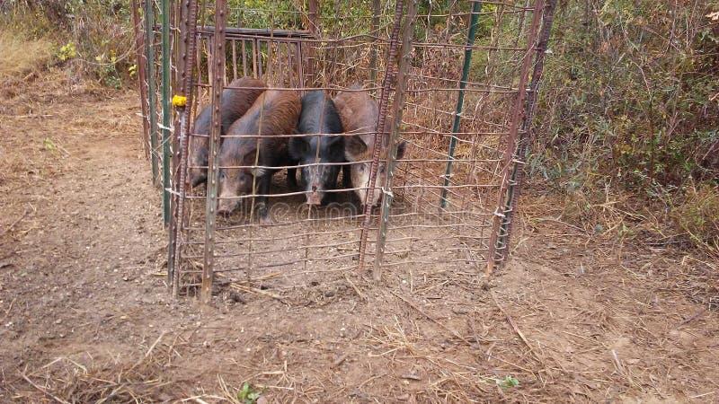 Caza del cerdo ah foto de archivo libre de regalías