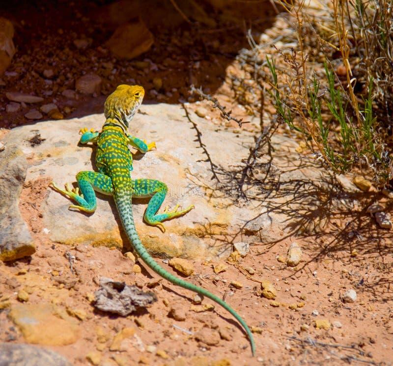 Caza del este del lagarto agarrado fotos de archivo