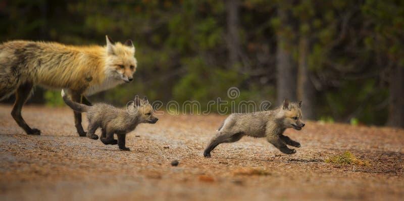 Caza del Fox imagenes de archivo