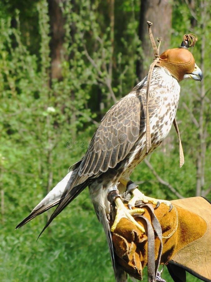 Caza del halcón de Saker fotos de archivo
