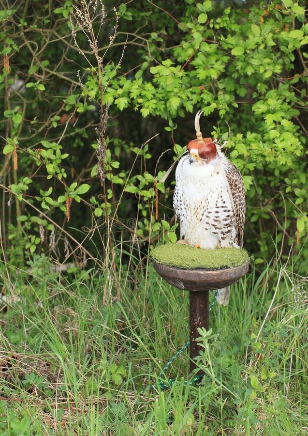 Caza del halcón de Saker foto de archivo libre de regalías