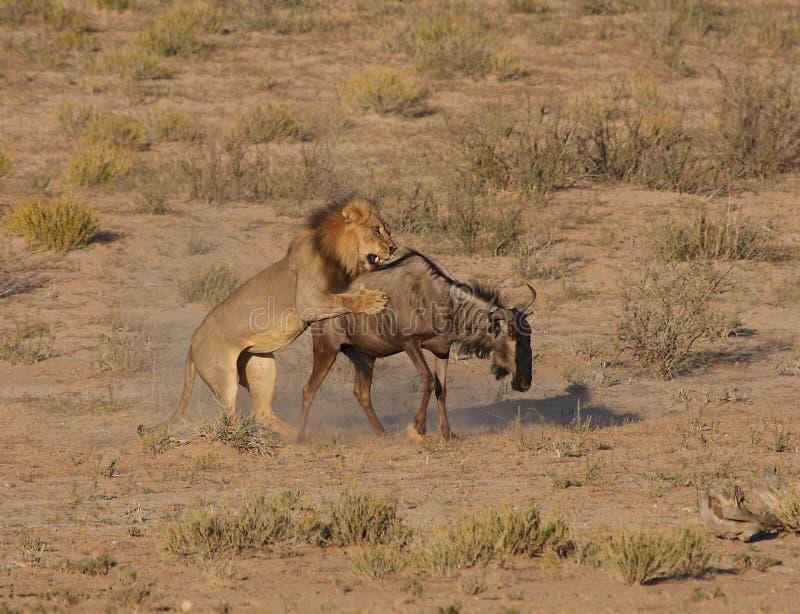 Caza del león imágenes de archivo libres de regalías