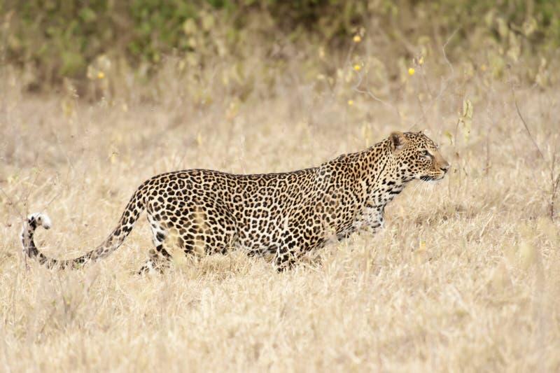 Caza del leopardo foto de archivo