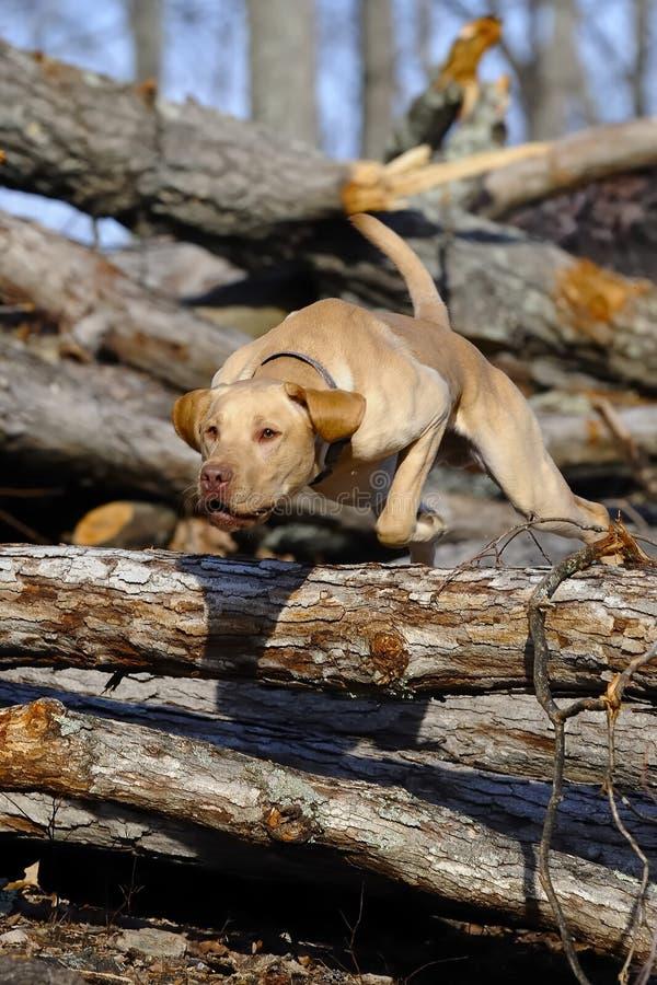 Caza del perro fotografía de archivo