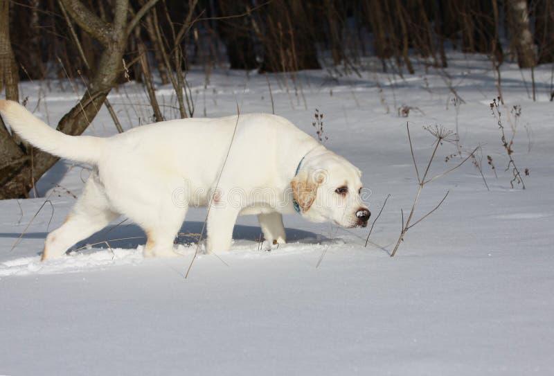 caza joven del labrador retriever foto de archivo libre de regalías