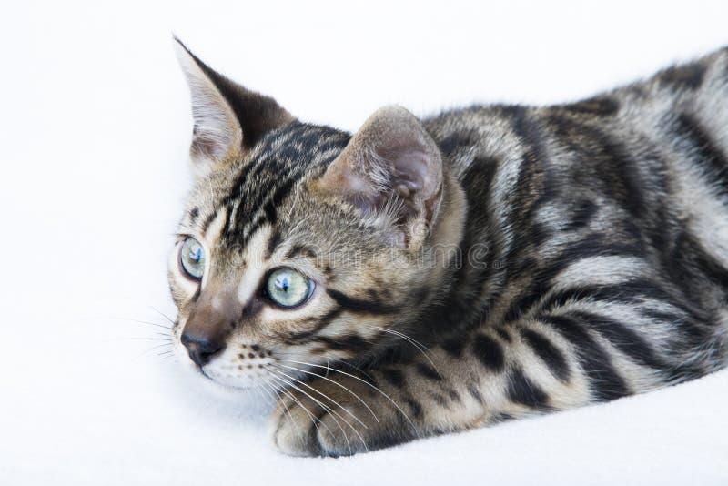 Caza linda del gatito de Bengala fotos de archivo libres de regalías