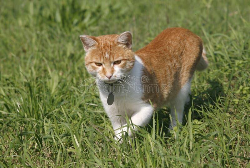 Caza preciosa del gatito del gato atigrado en el césped fotos de archivo libres de regalías