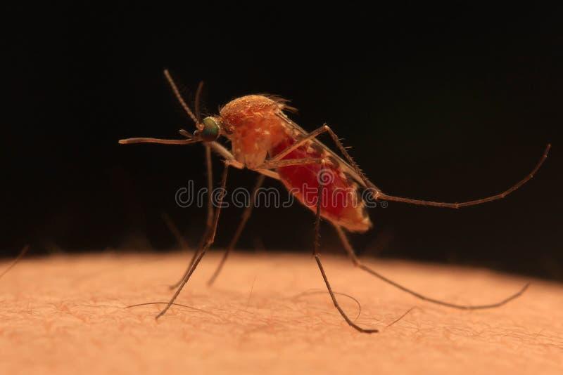 Cazador de la sangre del mosquito imagen de archivo libre de regalías