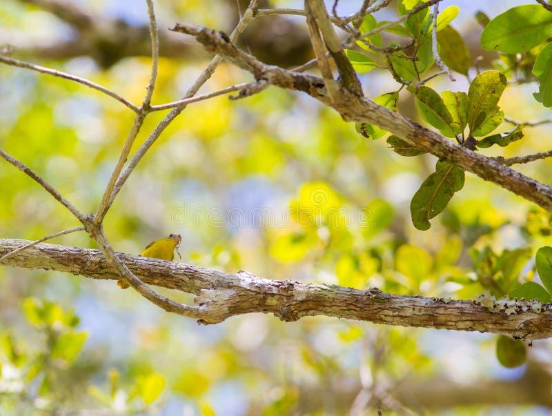 Cazamoscas amarillo que alimenta una oruga imágenes de archivo libres de regalías