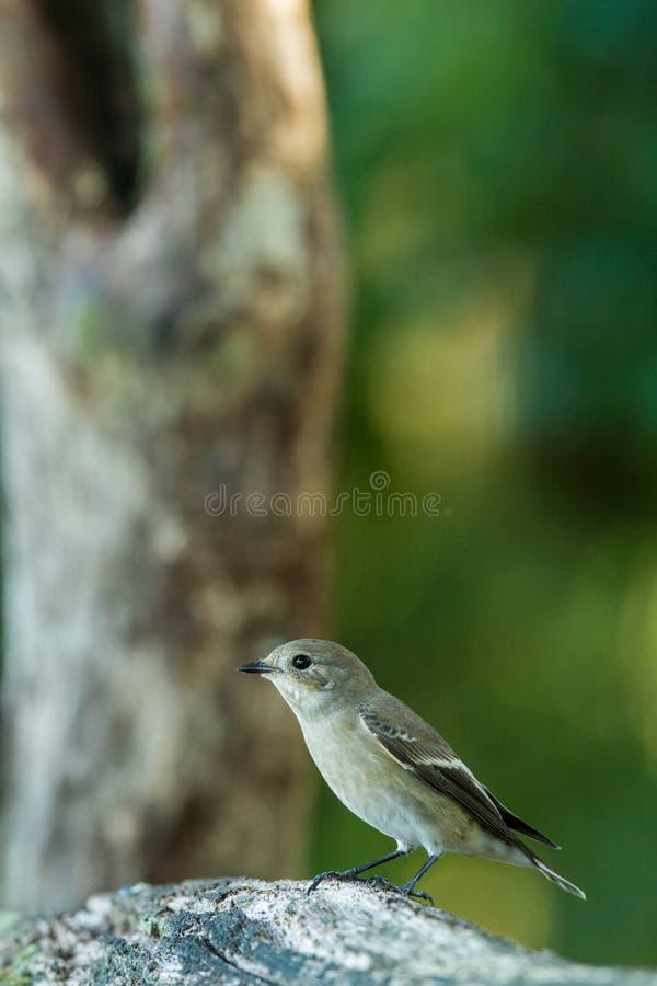 Cazamoscas manchado que se sienta en el tronco de madera en bosque con el fondo y los colores saturados, Hungría, pájaro cantante fotos de archivo libres de regalías