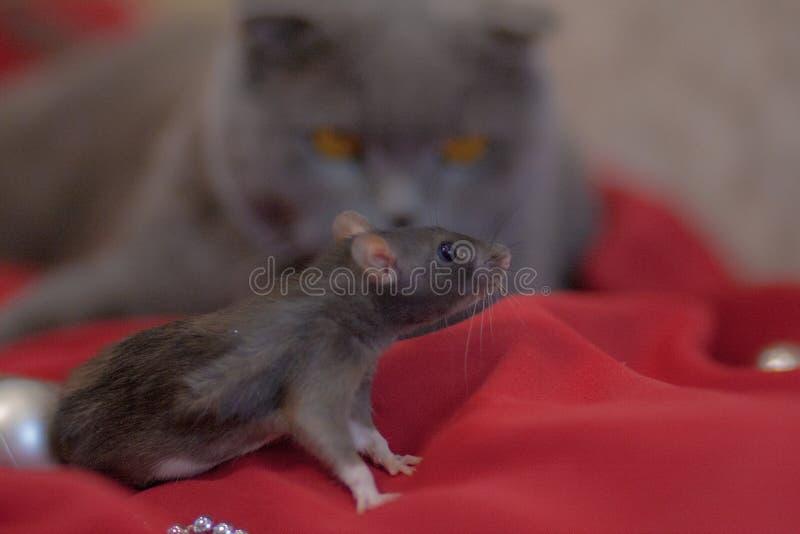Cazando el gato del concepto y el gato gris del ratón grises fotos de archivo libres de regalías