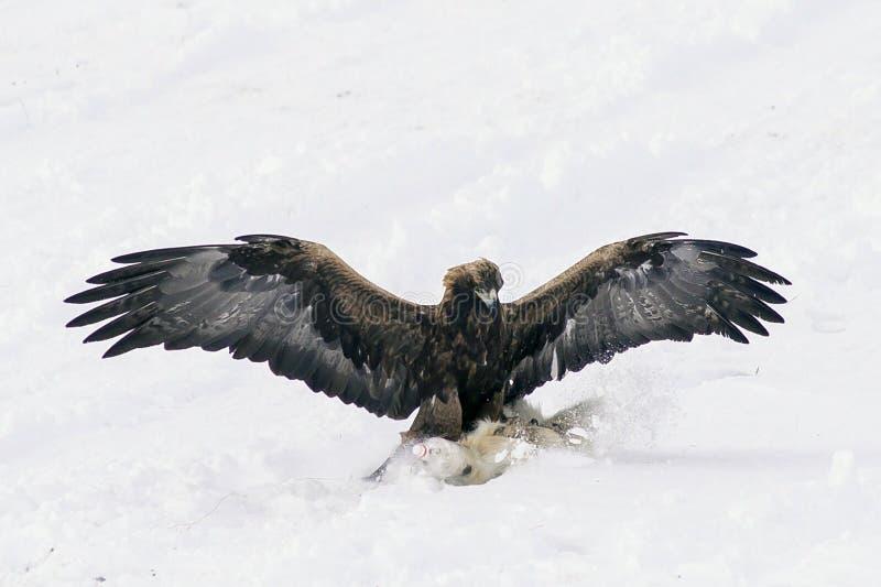 Cazando pájaro buscando presa, se alza en el aire fotos de archivo libres de regalías