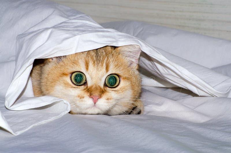 Cazas británicas encantadoras de debajo una hoja blanca, el instinto de un gatito de un depredador para un animal doméstico imágenes de archivo libres de regalías