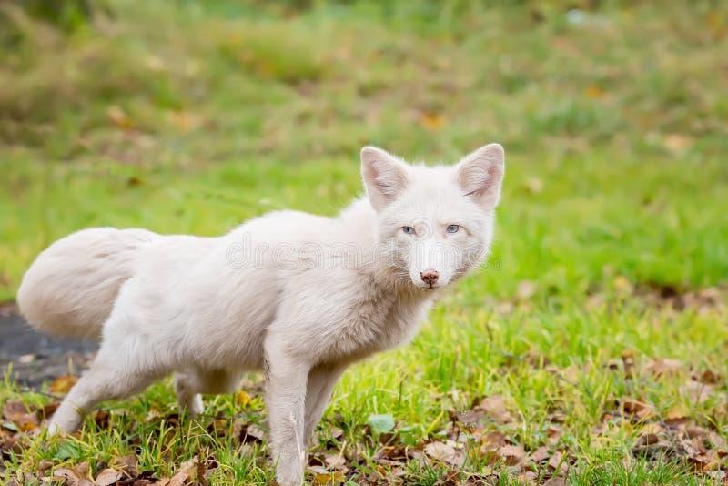 Cazas de Fox blanco edad 2 años imagen de archivo libre de regalías