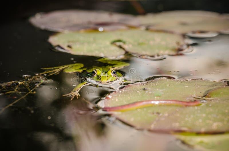 Cazas de la rana un gusano En el pantano en una hoja de un lirio la rana caza un gusano imagen de archivo libre de regalías