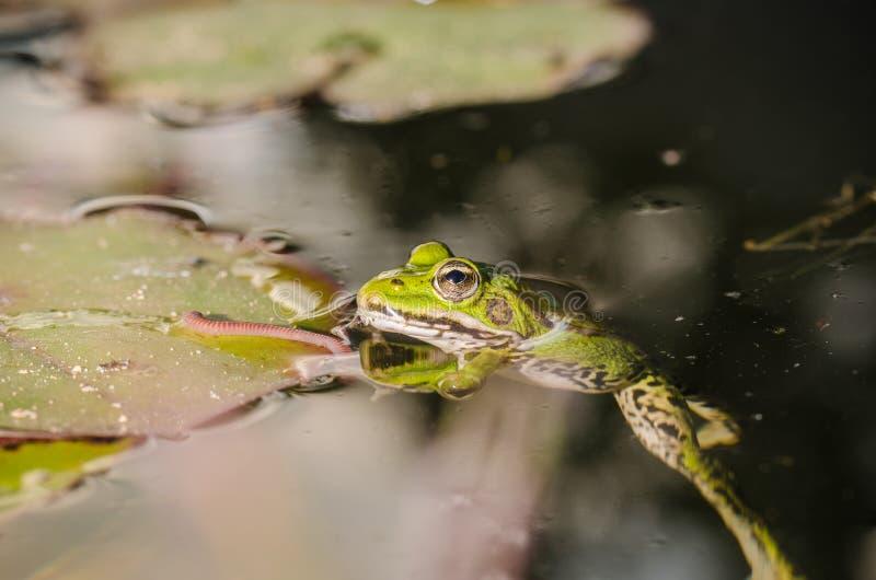 Cazas de la rana un gusano En el pantano en una hoja de un lirio la rana caza un gusano foto de archivo libre de regalías