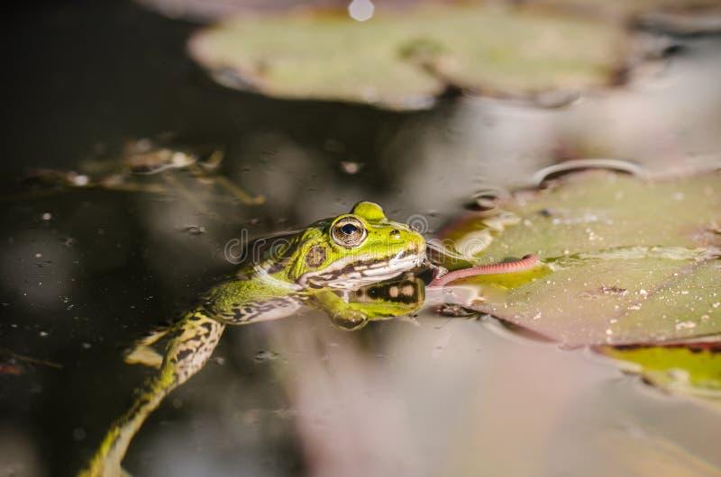 Cazas de la rana un gusano En el pantano en una hoja de un lirio la rana caza un gusano imagenes de archivo