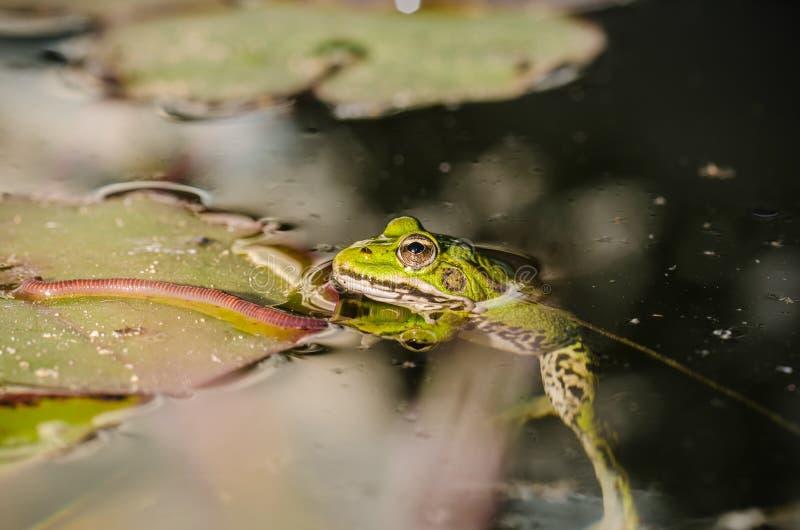 Cazas de la rana un gusano Tema de la naturaleza salvaje En el pantano en una hoja de un lirio la rana caza un gusano fotografía de archivo libre de regalías