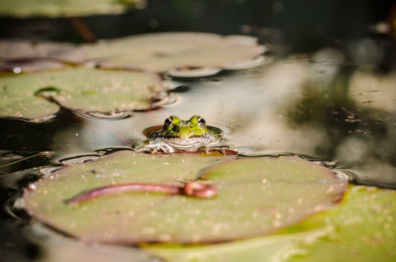 Cazas de la rana un gusano Tema de la naturaleza salvaje En el pantano en una hoja de un lirio la rana caza un gusano foto de archivo libre de regalías