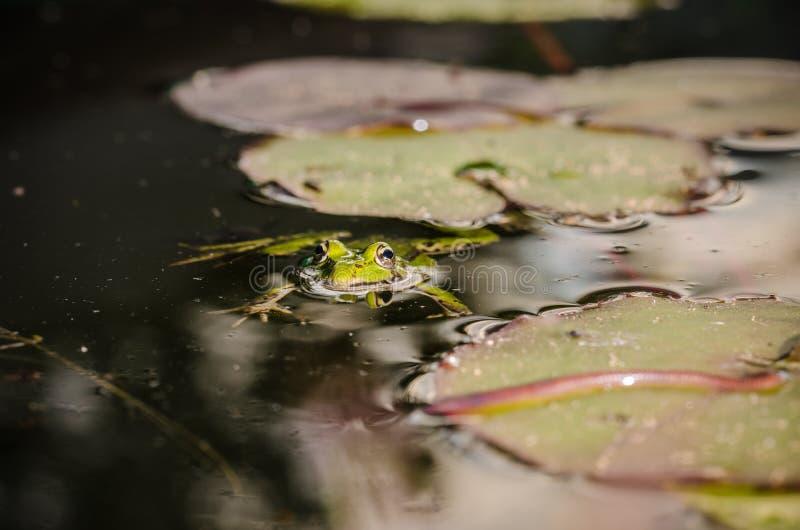 Cazas de la rana un gusano Tema de la naturaleza salvaje En el pantano en una hoja de un lirio la rana caza un gusano imagen de archivo