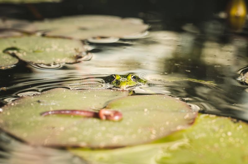 Cazas de la rana un gusano Tema de la naturaleza salvaje En el pantano en una hoja de un lirio la rana caza un gusano imagen de archivo libre de regalías