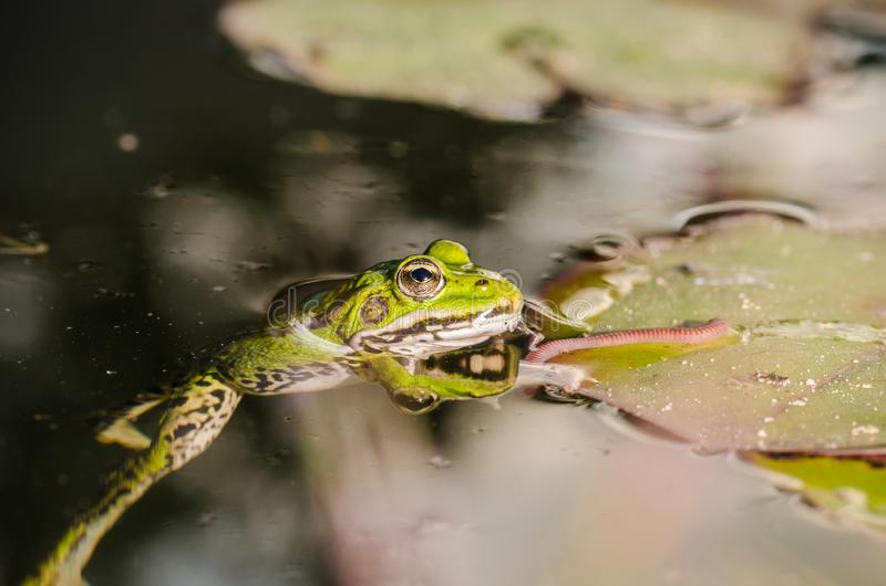 Cazas de la rana un gusano Tema de la naturaleza salvaje En el pantano en una hoja de un lirio la rana caza un gusano fotos de archivo libres de regalías