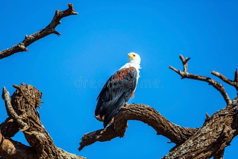 Cazas del águila calva fotografía de archivo libre de regalías