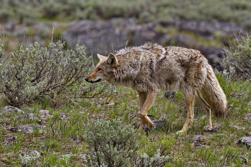 Cazas del coyote en el parque nacional de Yellowstone imagen de archivo