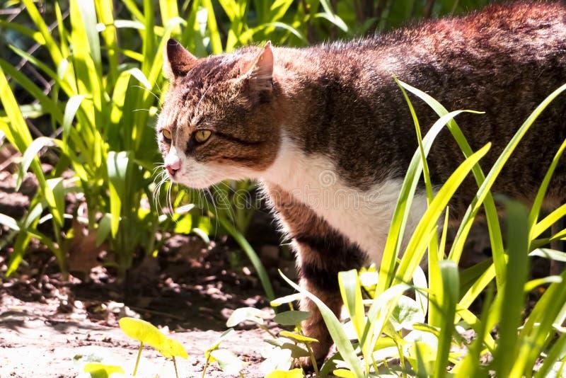 Cazas del gato de la calle en los matorrales del jardín foto de archivo