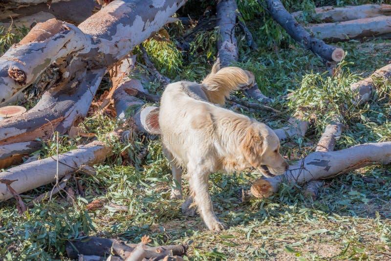 Cazas del perro de la granja para las ratas en un árbol caido foto de archivo