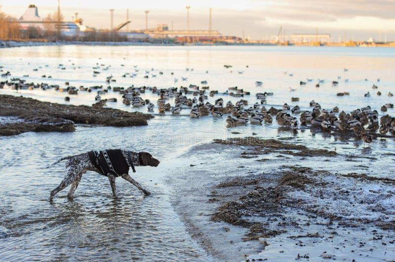 Cazas del perro en patos fotos de archivo libres de regalías