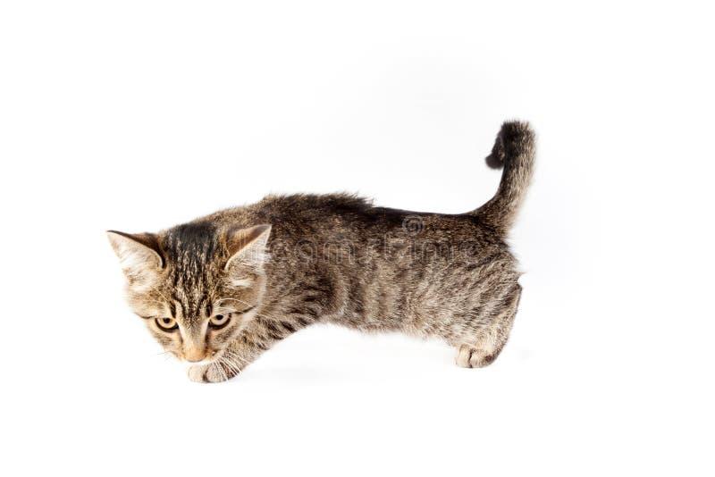 Cazas divertidas del gato imagen de archivo