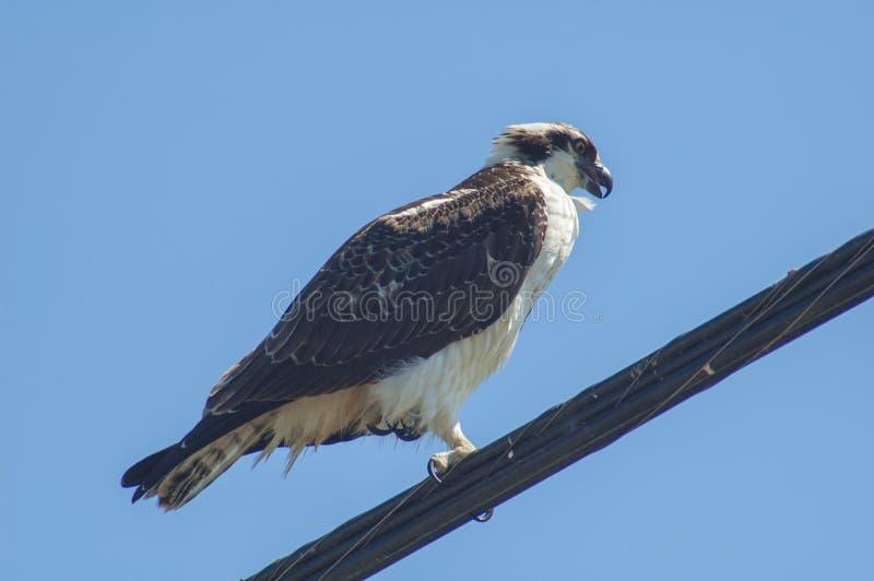 Cazas grandes del pájaro de Osprey de su perca en un alambre del cable de teléfono fotografía de archivo libre de regalías