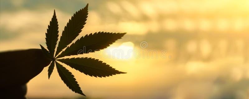 CBD大麻在落日背景的叶子特写镜头与光的 复制空间 大麻和ganja主题照片  免版税库存照片