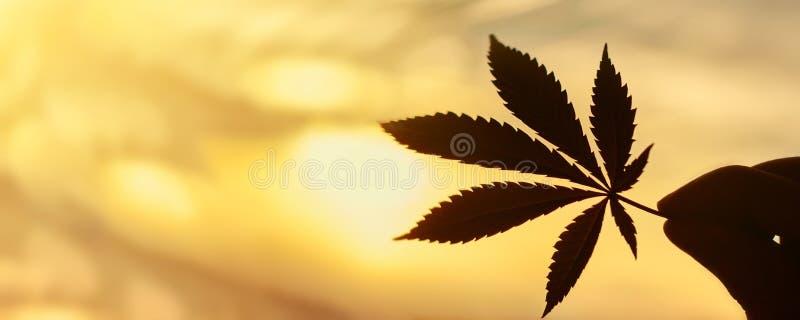 CBD大麻在落日背景的叶子特写镜头与光的 复制空间 大麻和ganja主题照片  免版税图库摄影