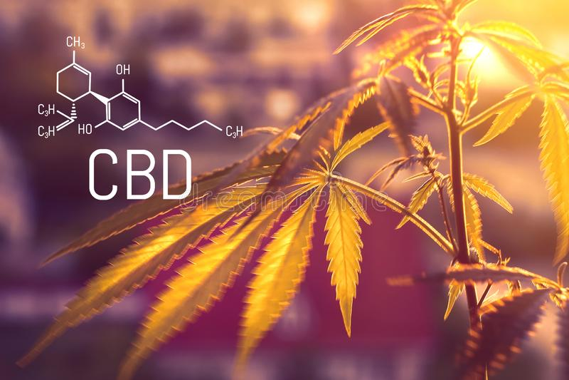 CBD-formule, medische marihuana, alternatieve geneeskunde Cultuur van geneeskrachtige cannabis voor de productie van gezonde tint stock foto