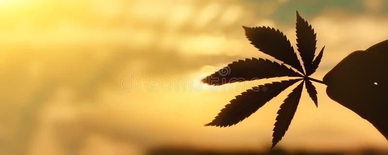 CBD-het close-up van het Cannabisblad op achtergrond van het plaatsen van zon met stralen van licht De ruimte van het exemplaar T stock afbeelding