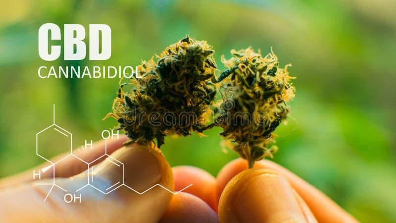 CBD THC chemiczni elementy zawierający w marihuanie Medyczna marihuana 2019n obraz stock