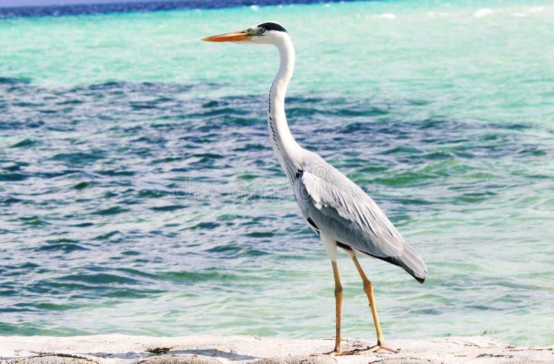 CBlack-headed Heron. (Ardea melanocephala),kaafu maadhoo finolhu pinic island, Maldives royalty free stock image